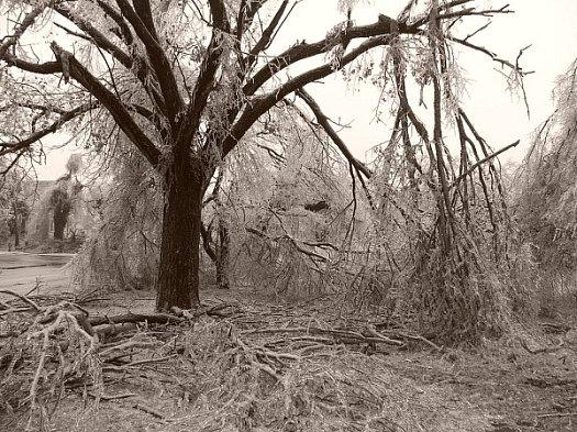 arbre mutile par le verglas